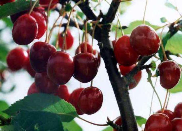 Тургеневская вишня: характеристика и описание сорта, выращивание и уход