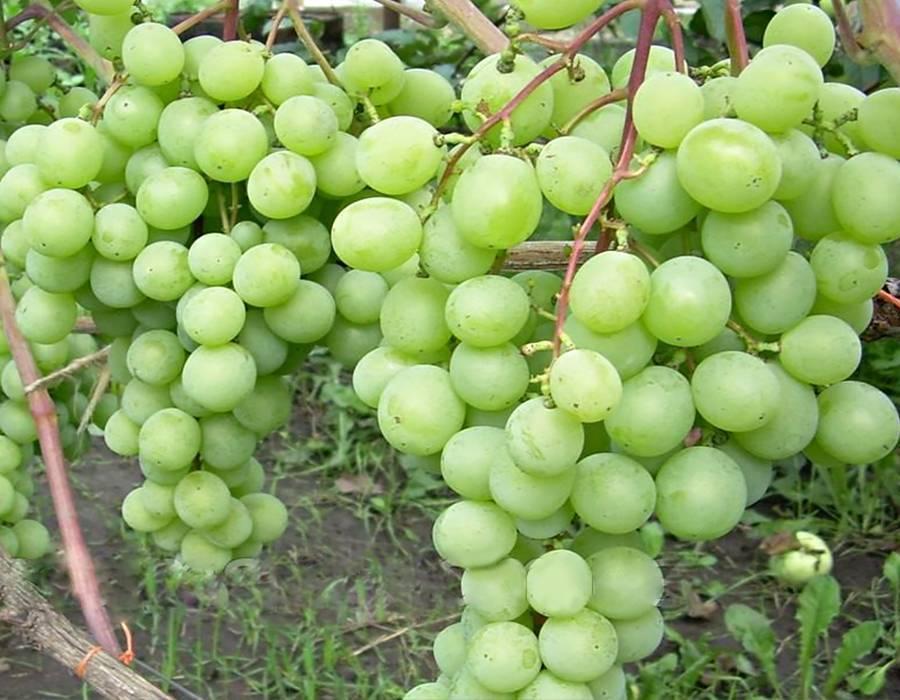 Виноград байконур - мир винограда - сайт для виноградарей и виноделов