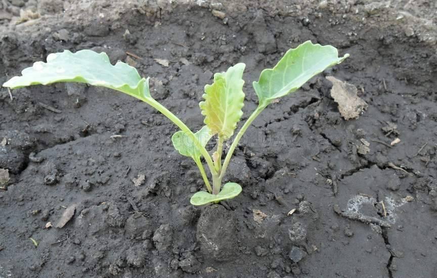 Савойская капуста: выращивание, уход в открытом грунте, описание вертю и иных сортов, а также когда сажать семена, как выглядит овощ, чем отличается от белокочанной?