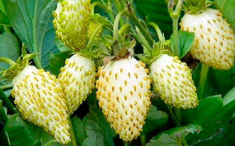 Клубника ананас: основные особенности и описание сорта
