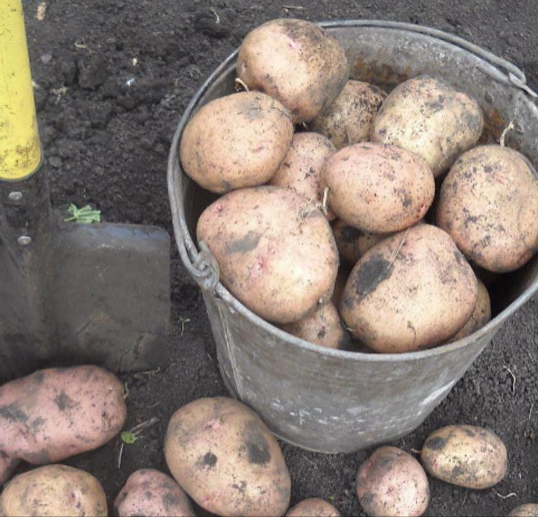 Картофель снегирь — описание, посадка и уход, сроки созревания