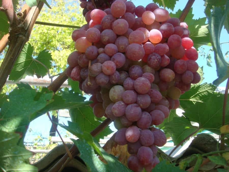 Виноград зилга (описание, посадка и уход, фото)