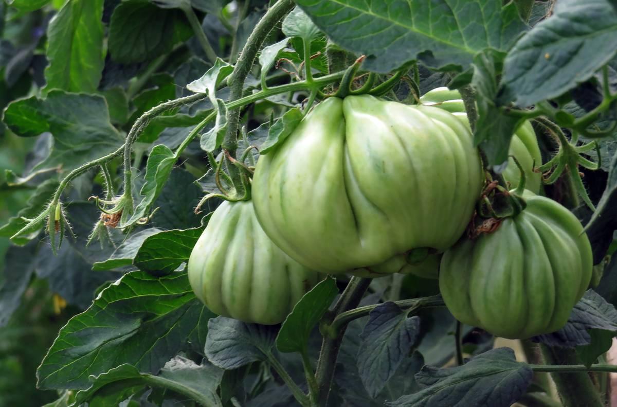 Описание и характеристики сортов томатов Инжир розовый, красный и желтый, урожайность и выращивание