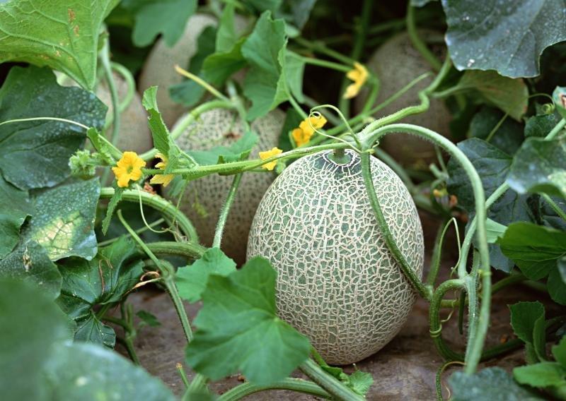 Выращивание дыни в открытом грунте (колхозница и пр): агротехника + фото и видео