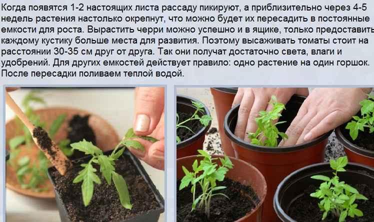 Чем подкормить рассаду помидоров – чтобы были толстенькие стебли, после всходов, пикировки