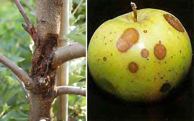 Признаки и лечение рака яблони, устойчивые к болезни сорта