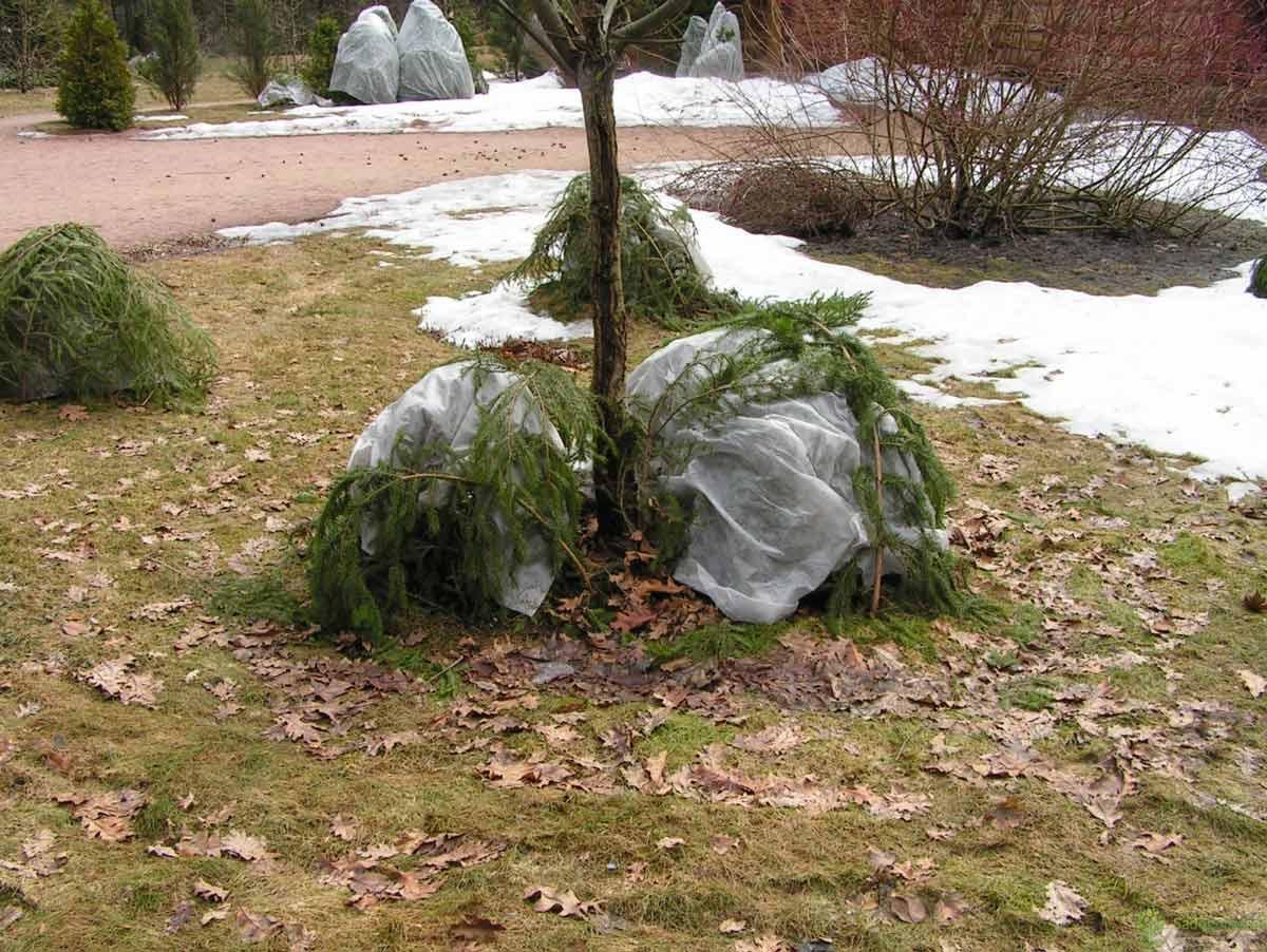 Как ухаживать за буддлеей осенью и подготовить к зиме: обрезка и укрытие