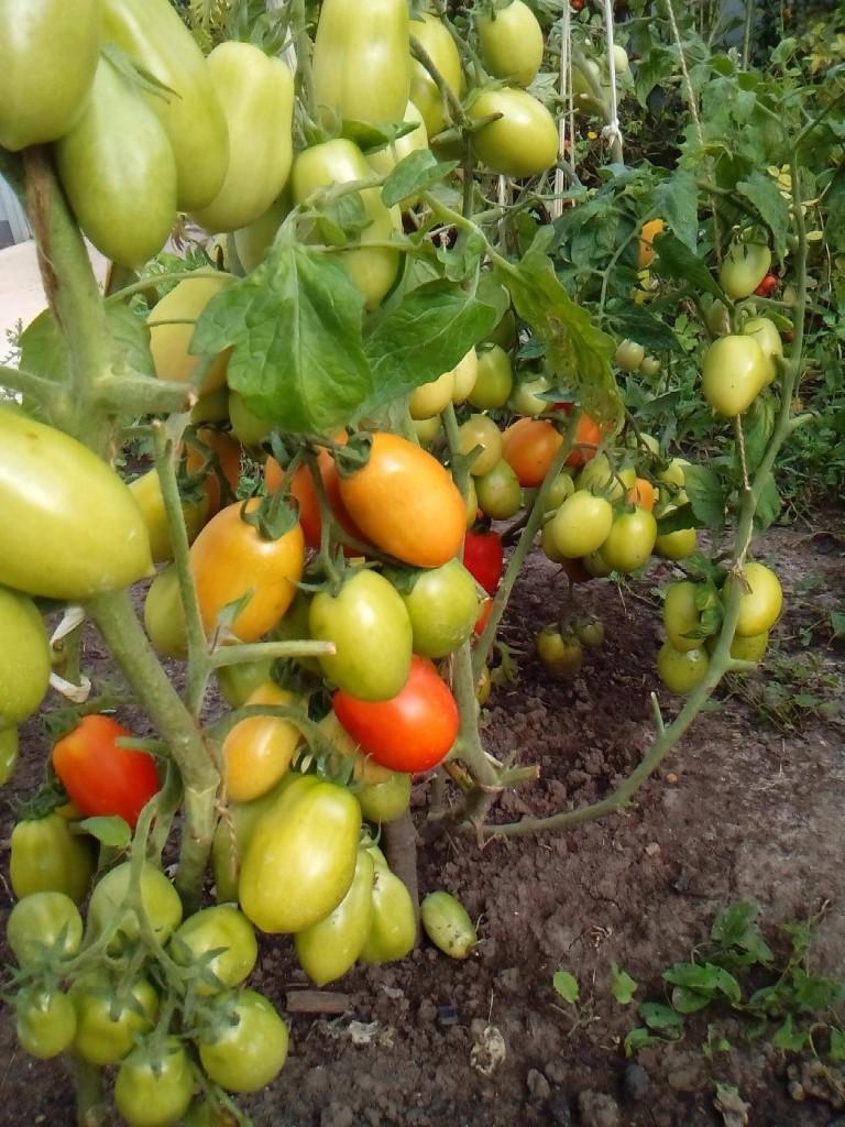 Описание сорта томата весна f1, рекомендации по выращиванию и уходу – дачные дела