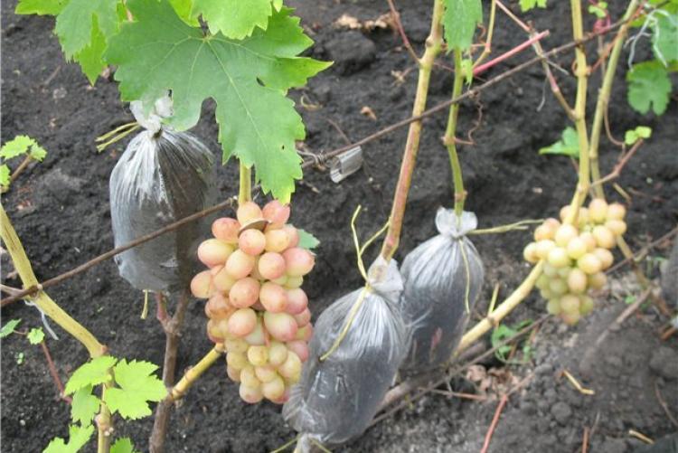 Виноград памяти учителя: описание сорта, фото, отзывы, видео