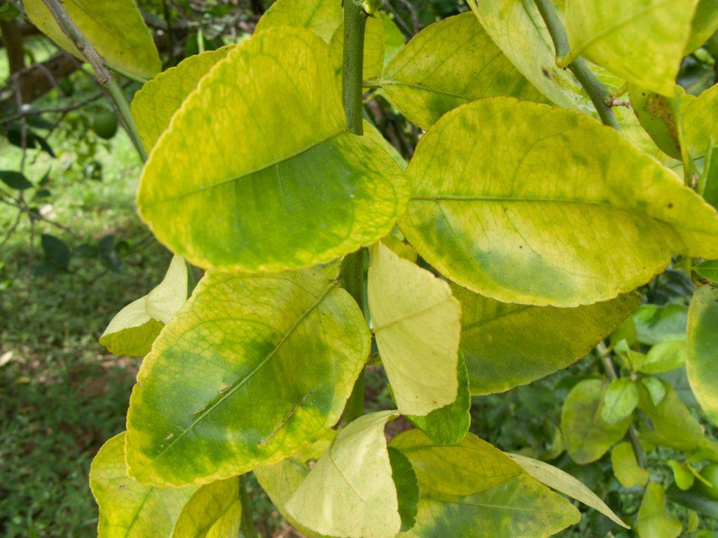 У мандарина скручиваются, сохнут и опадают листья: причины и что делать