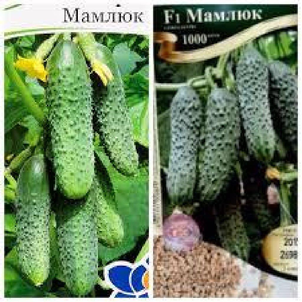 Огурец мамлюк f1: описание сорта, фото, отзывы, урожайность