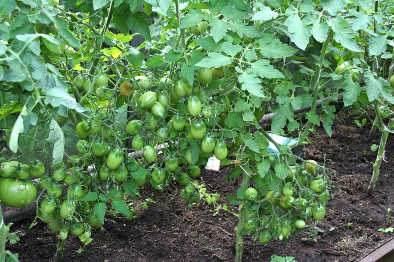 Томат чио чио сан: отзывы тех кто сажал и выращивал помидоры об их урожайности, характеристика и описание сорта черри, видео и фото семян гавриш