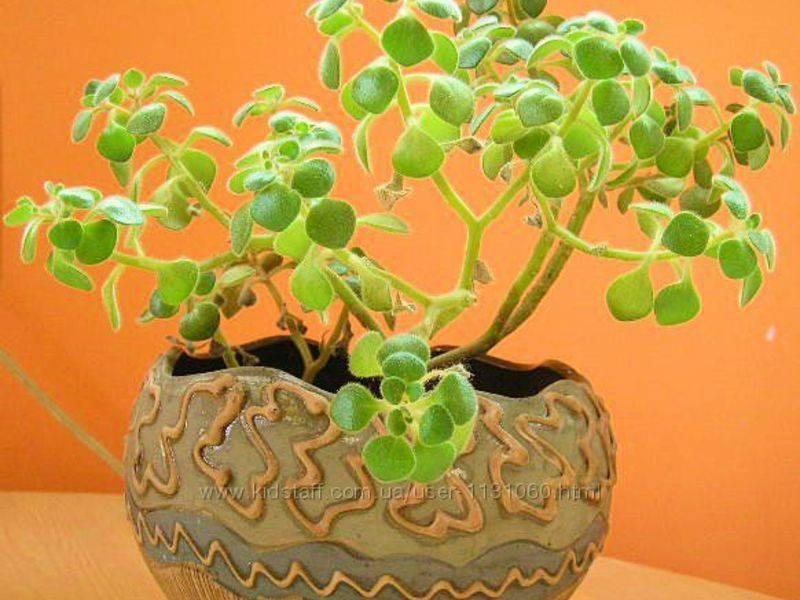 Дерево любви аихризон: фото, уход в домашних условиях, правила выращивания и пересадки полукустарникового суккулента