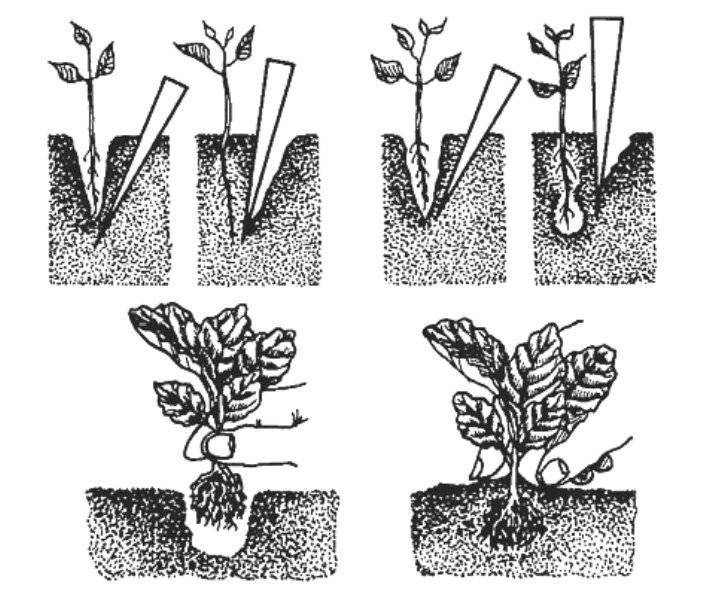 Ревень: посадка и уход в открытом грунте, выращивание из семян, польза и вред