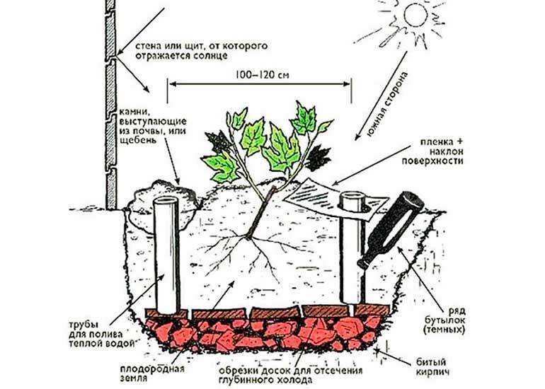 Виноград в сибири: посадка, уход и выращивание для начинающих, как правильно вырастить летом