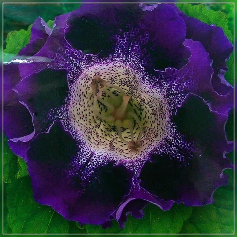 Глоксиния гибридная императрица фиолетовая f1