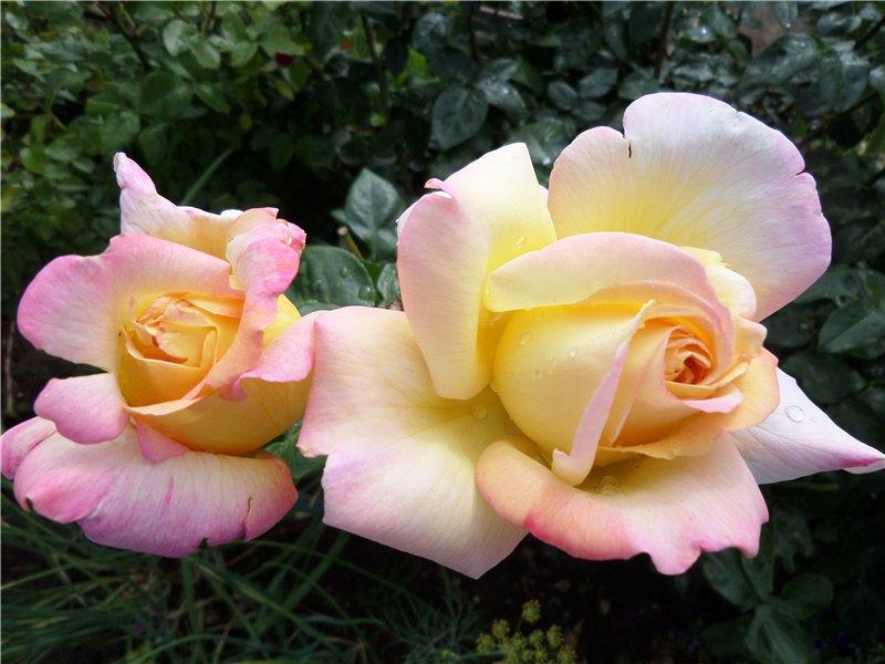 Розарий на даче: особенности посадки и ухода за розой глория дей