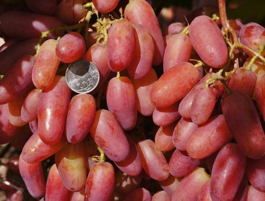 Виноград юбилей новочеркасска | садоводство и огородничество