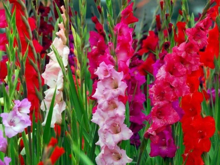 Японский гладиолус: описание сортов, посадка, выращивание и уход в открытом грунте