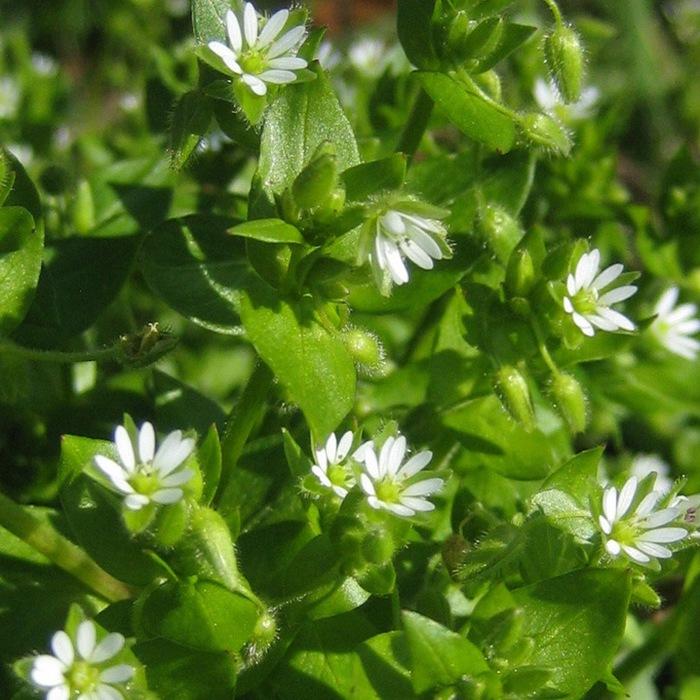Мокрица трава: фото, описание, полезные свойства