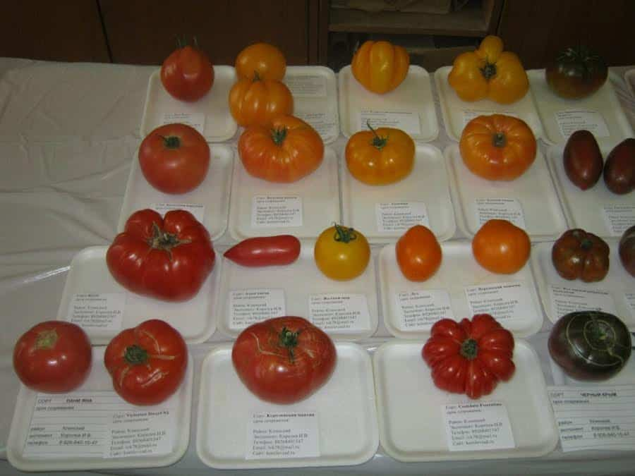 Лучшие семена томатов 2021 для теплиц и открытого грунта