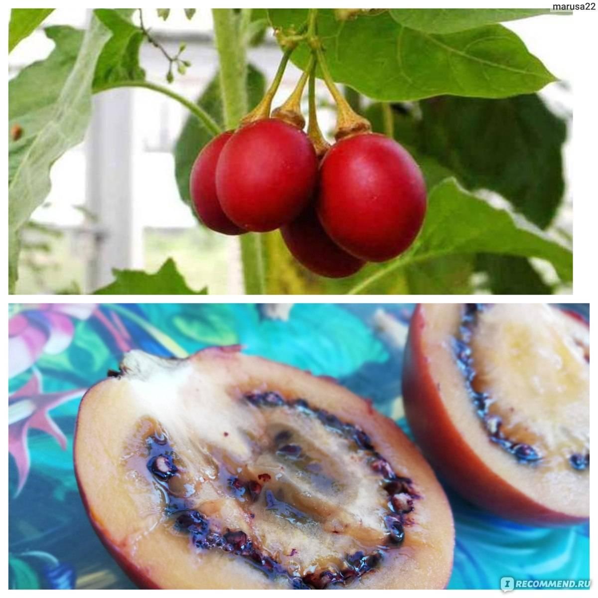 Чем полезен тамарилло фрукт, как его вырастить