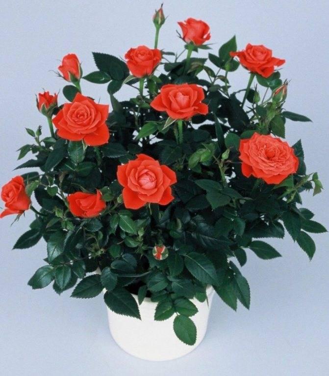 Роза кордана микс: как ухаживать после покупки, особенности полива, фото - sadovnikam.ru
