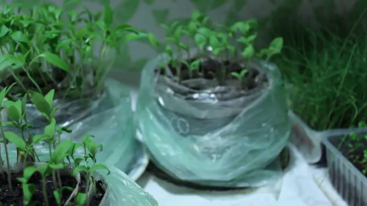 Посадка томатов на рассаду – выращивание рассады томатов в домашних условиях