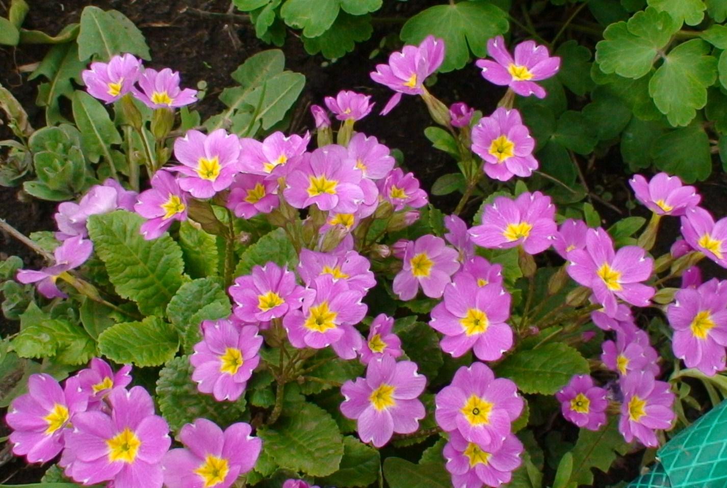 Как и когда высаживать цветы многолетники в открытый грунт | советы садоводам