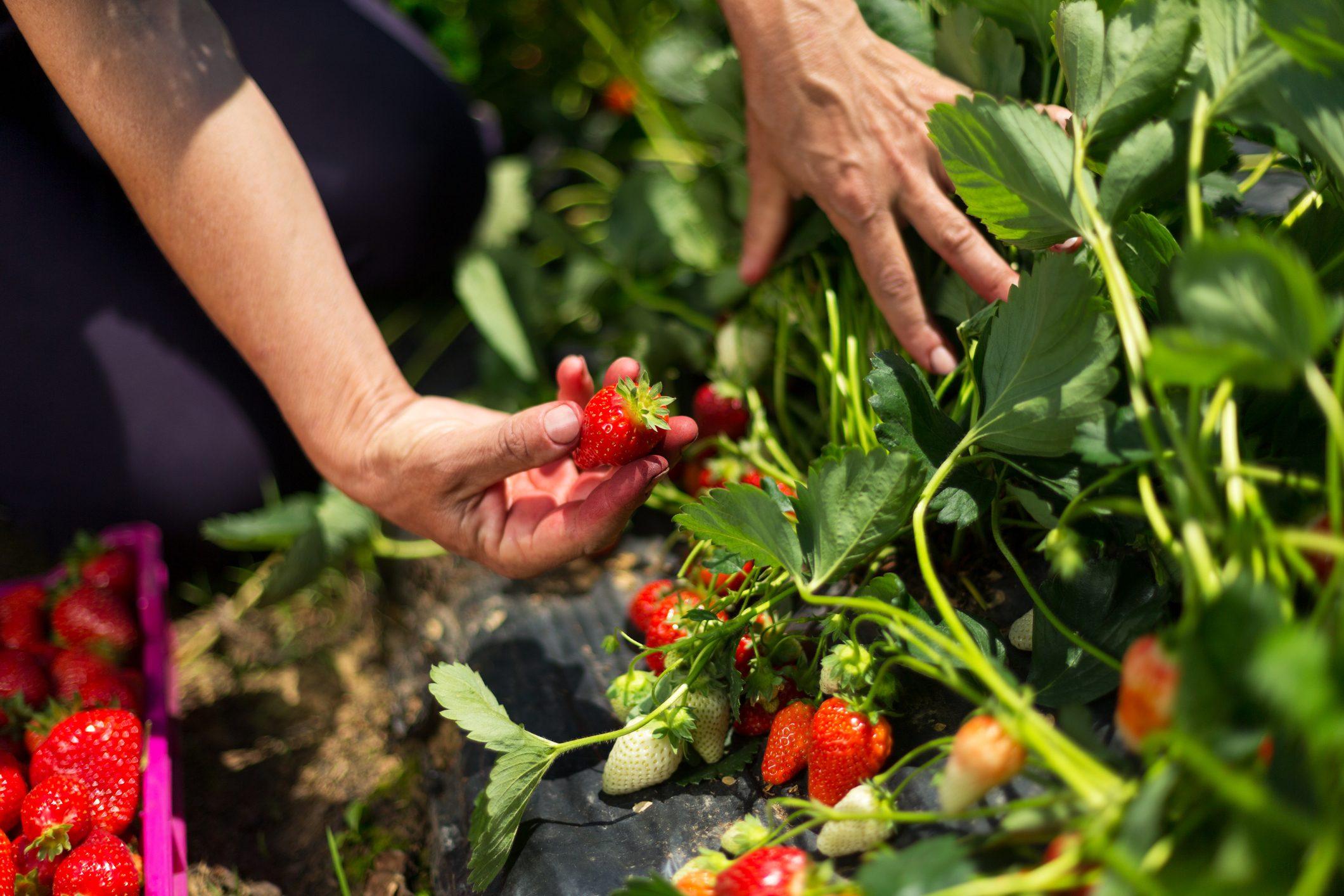 Секреты садовода: как увеличить урожай клубники