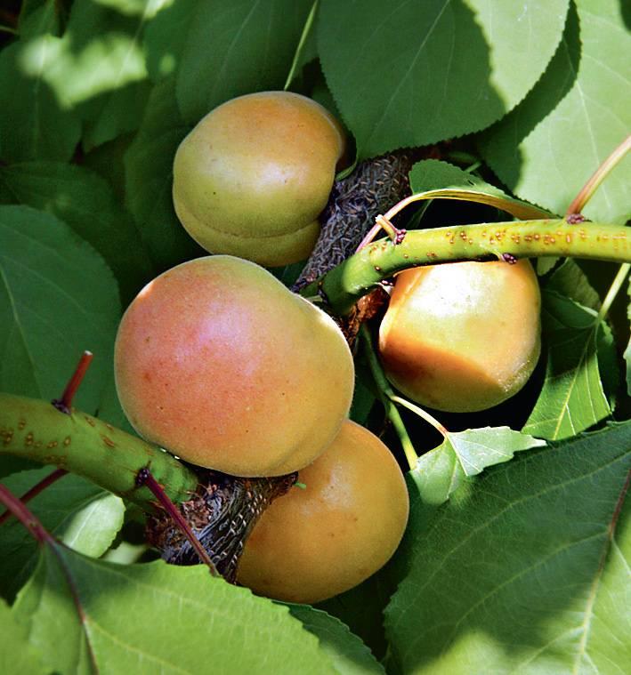 О посадке и уходе за абрикосом на урале, в башкирии: как посадить и выращивать