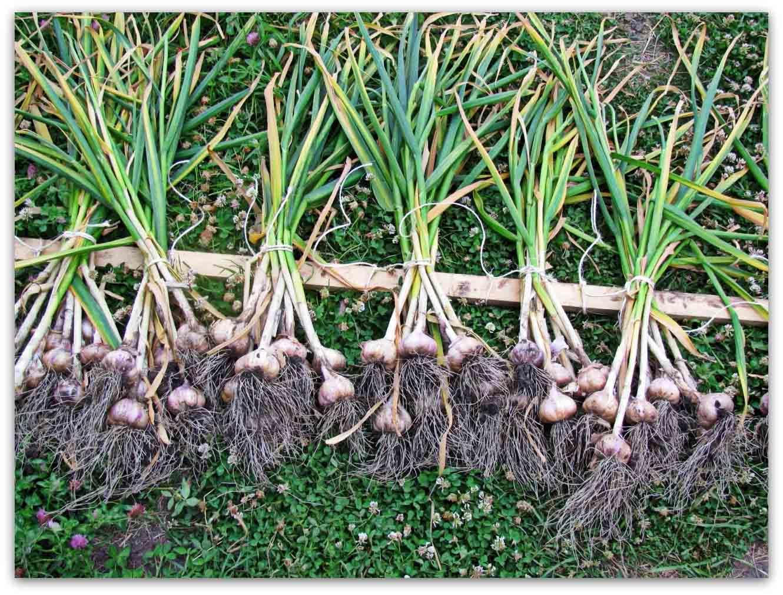 Яровой чеснок: посадка весной, выращивание и уход, маленькие хитрости, которые могут помочь начинающим фермерам