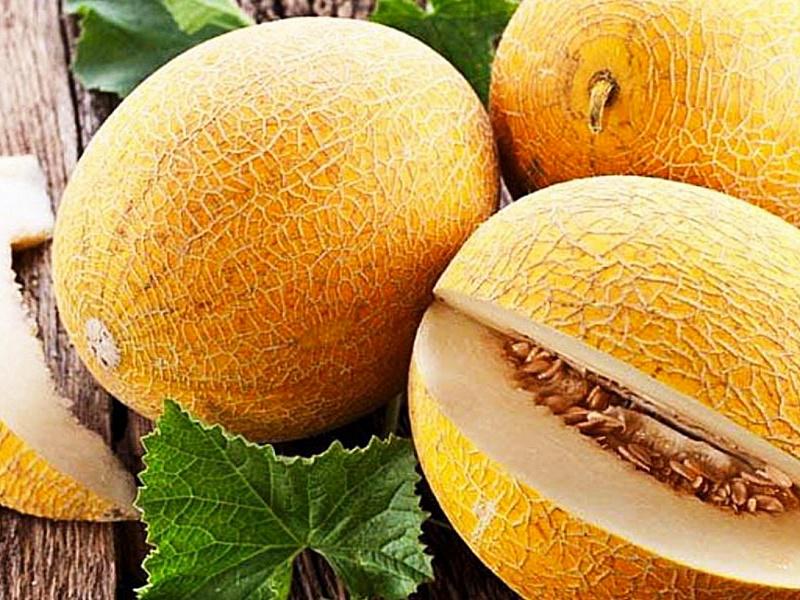 Дыня: выращивание в открытом грунте, посадка и уход, болезни и вредители