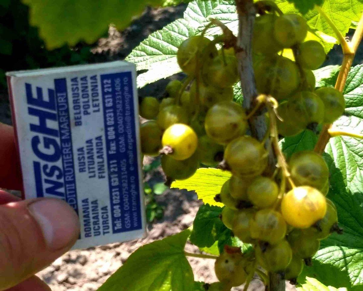 Смородина селеченская 2: отзывы, фото, описание сорта, посадка и уход, выращивание и размножение, морозостойкость, урожайность