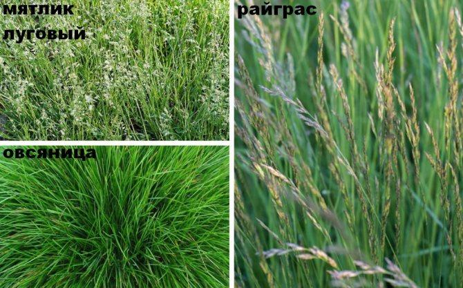 Виды декоративных трав для посадки дачного газона