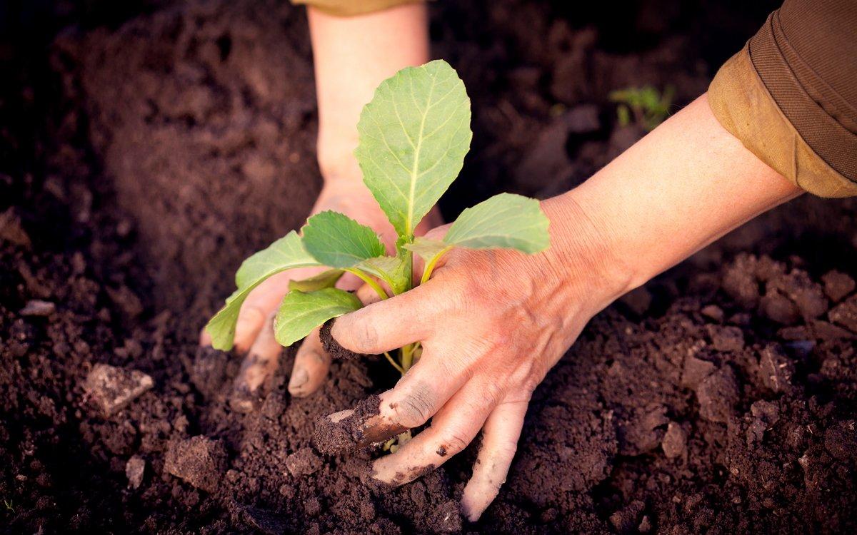 Капуста: от выбора сорта до сбора урожая