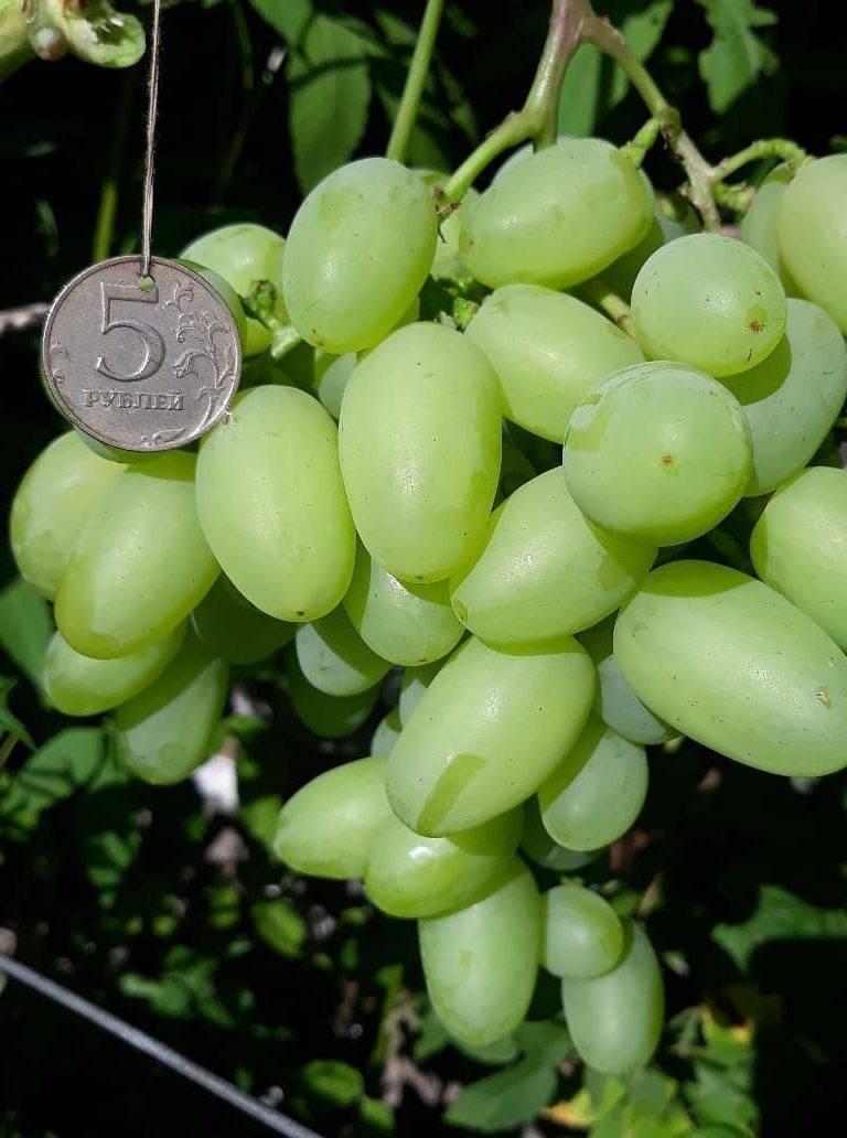 Виноград галахад: описание сортовой разновидности, как посадить и ухаживать