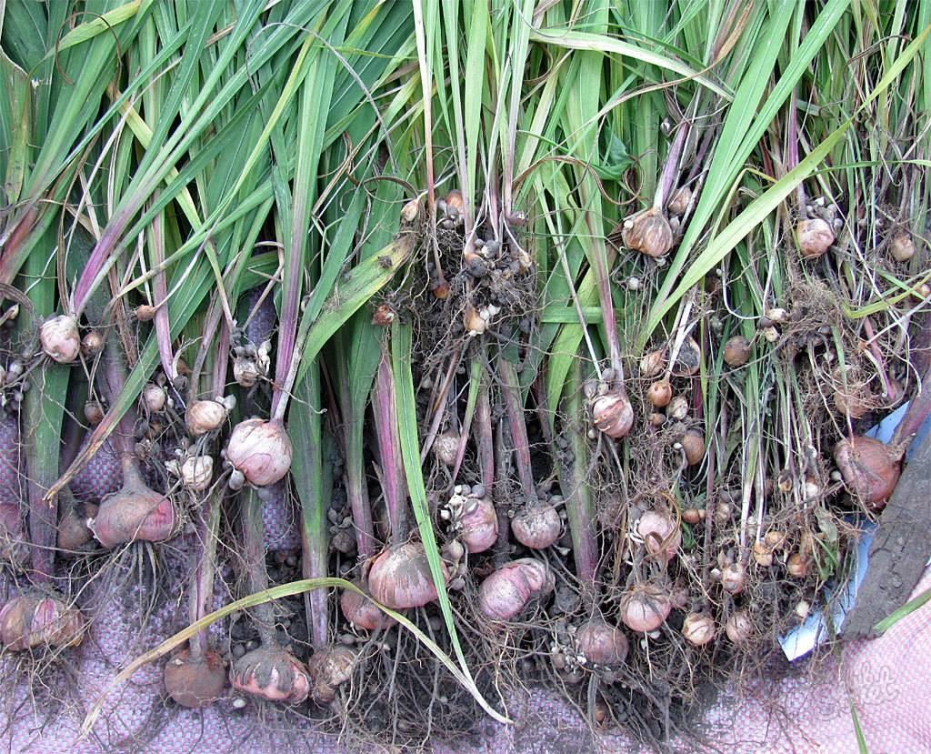 Посадка гладиолусов, выращивание и уход: как посадить в открытый грунт – 4 сезона огородника
