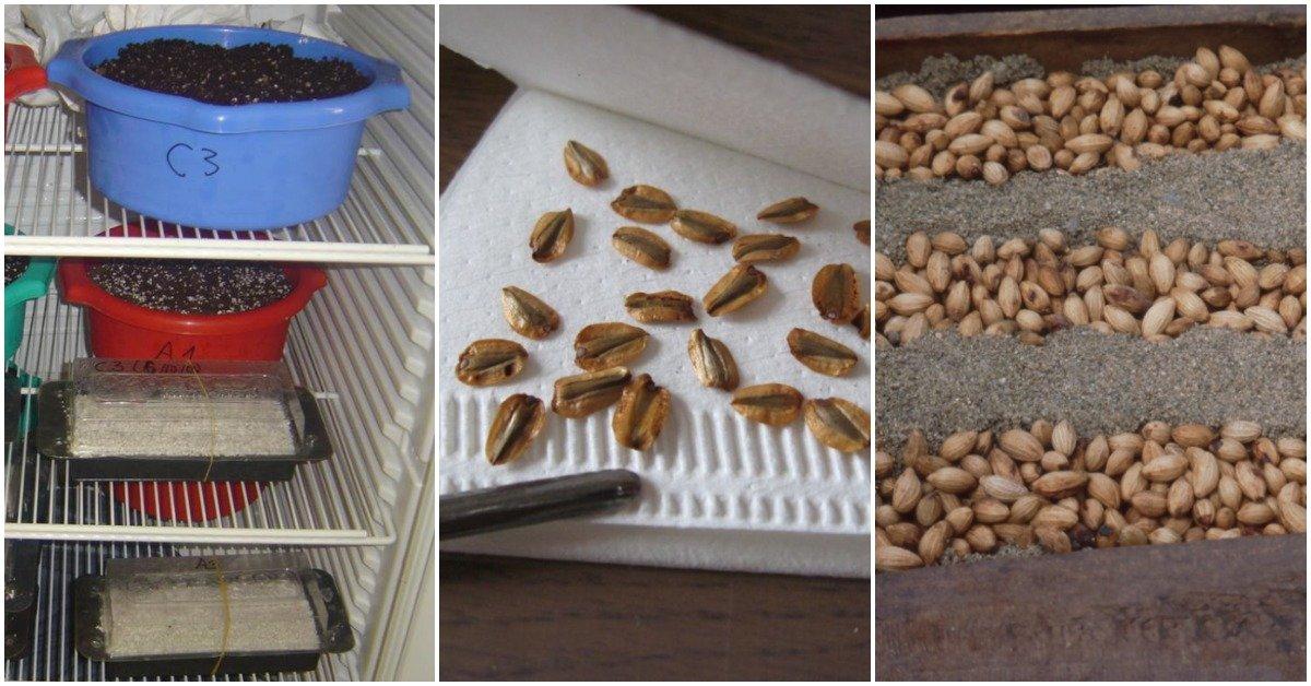 Как правильно стратифицировать семена: описание и методы стратификации семян