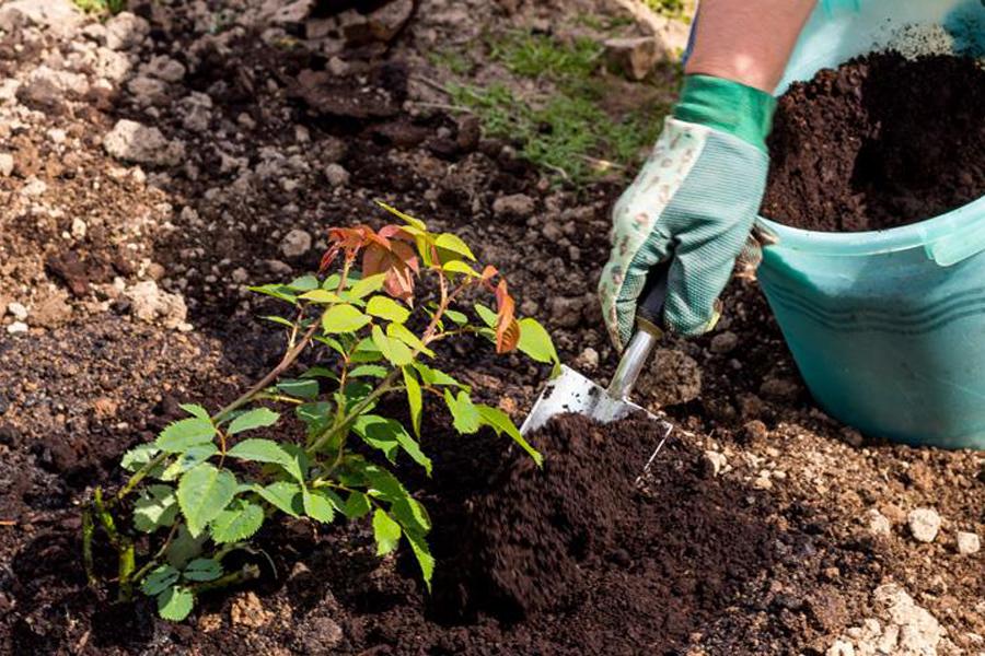 Жимолость — посадка и уход в открытом грунте, инструкция, секреты выращивания