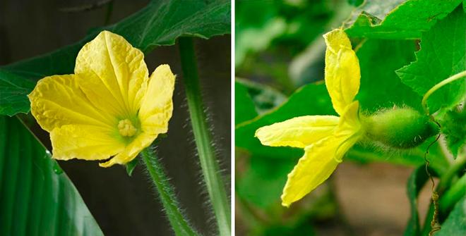 Выясним, почему не завязываются перцы в теплице: что делать, если перцы цветут, но не завязывают плоды, как исправить ситуацию