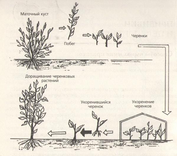 Как размножить барбарис: черенками осенью в домашних условиях, семенами, весной и летом