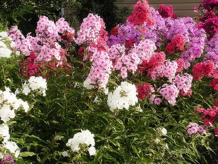 Описание и характеристики видов многолетних цветов для урала, посадка и уход