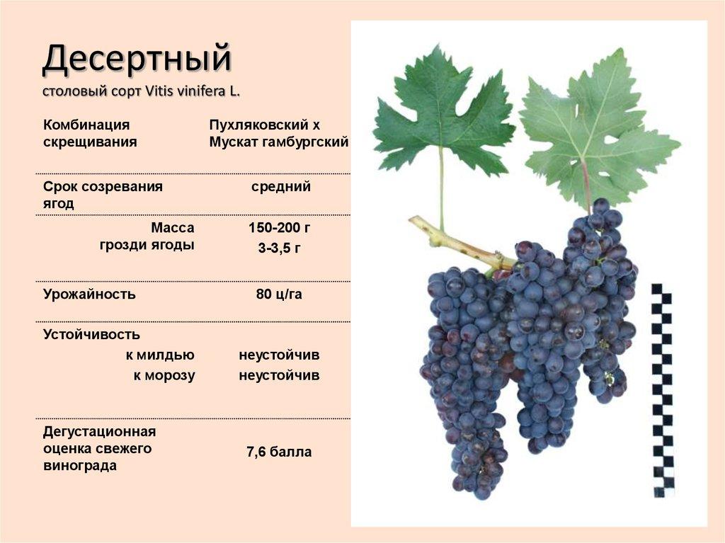 Виноград красотка: описание сорта и характеристики, сроки созревания с фото