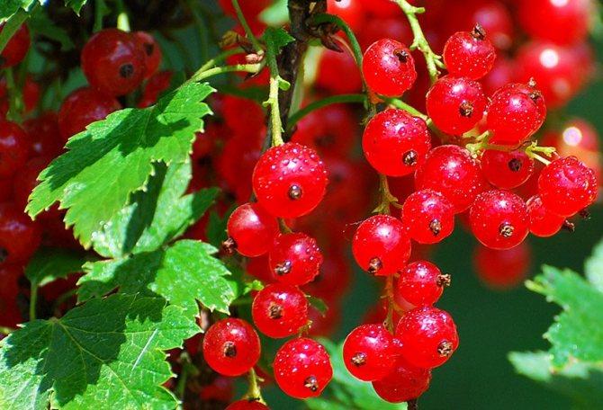 Смородина красная ненаглядная: описание сорта, посадка и уход с фото