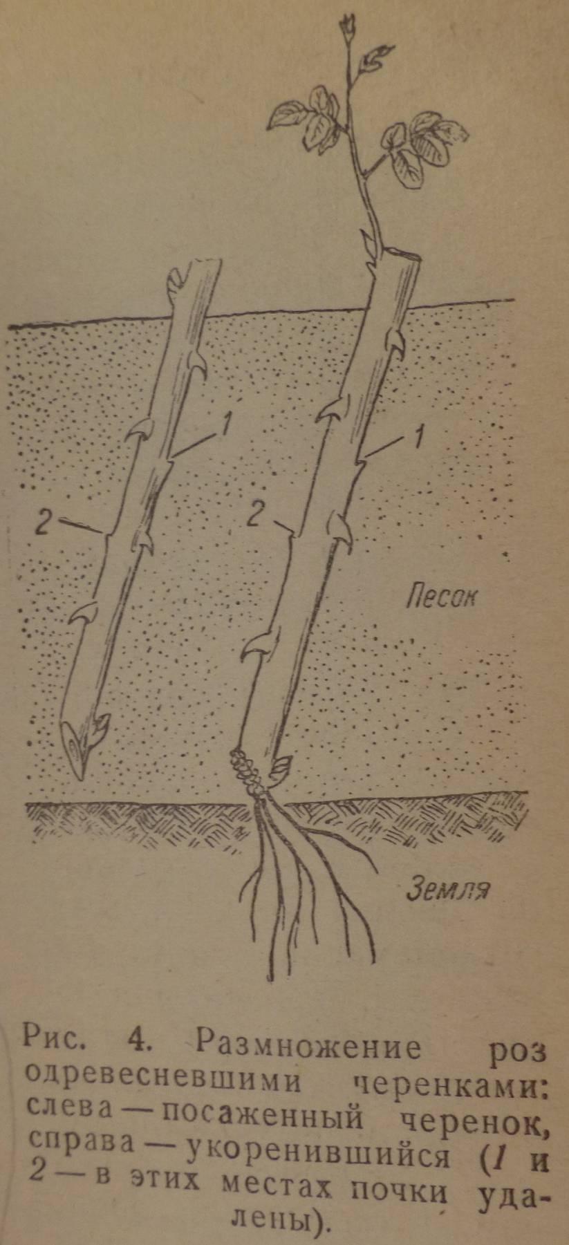 Размножение яблони черенками: весной, летом, осенью, советы