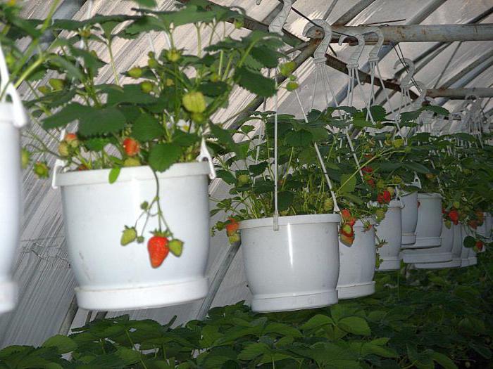 Садовая клубника: посадка и уход, описание выращивания, обрезка, размножение, фото
