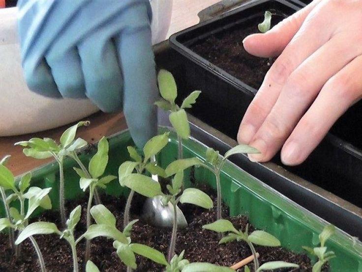 Что дает выращивание рассады томатов без пикировки — нюансы посадки: подготовка, уход, «переезд» на основное место