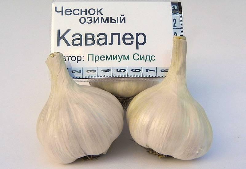 Яровой чеснок: перечень лучших сортов, агротехника выращивания крупного овоща в открытом грунте, нюансы ухода за растением и показатели, влияющие на урожайность русский фермер