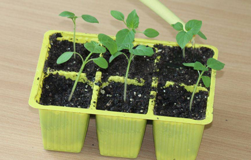 Физалис: посадка и уход в открытом грунте, выращивание из семян, виды и сорта